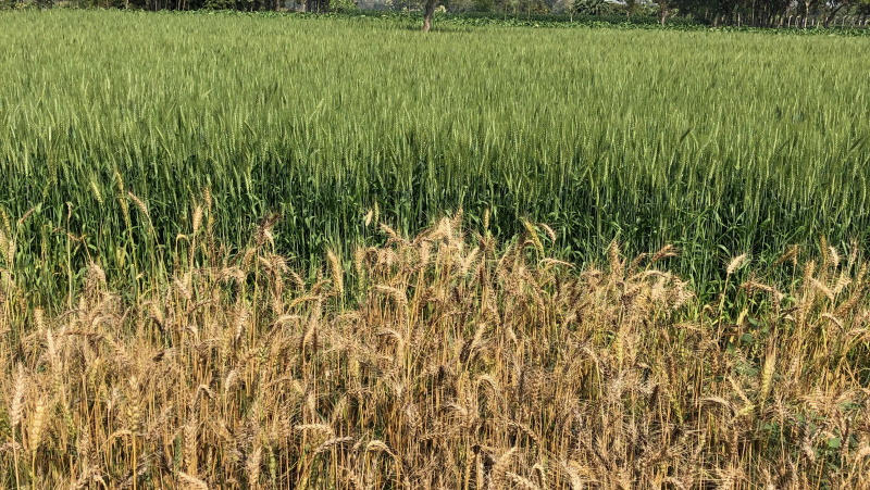 Wheat Blast devastated field alongside resistant one Bangladesh